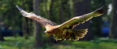 aigle ravisseur au vol - fauconnerie di penta